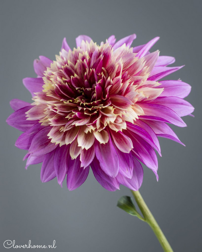 While waiting for the start of the dahlia season, I like to present a few new favourite dahlia varieties: Mambo - Cloverhome.nl
