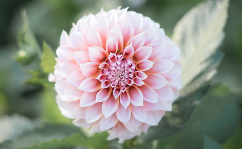 Dahlia discoveries: perfect Peaches n' Cream