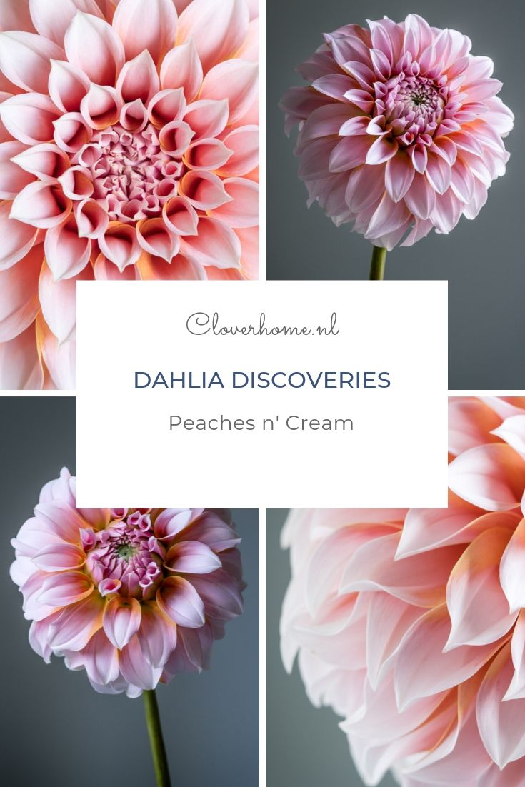 Dahlia Peaches n' Cream is one of the most productive, most beautiful and best cut flower varieties I am growing this year - Cloverhome.nl