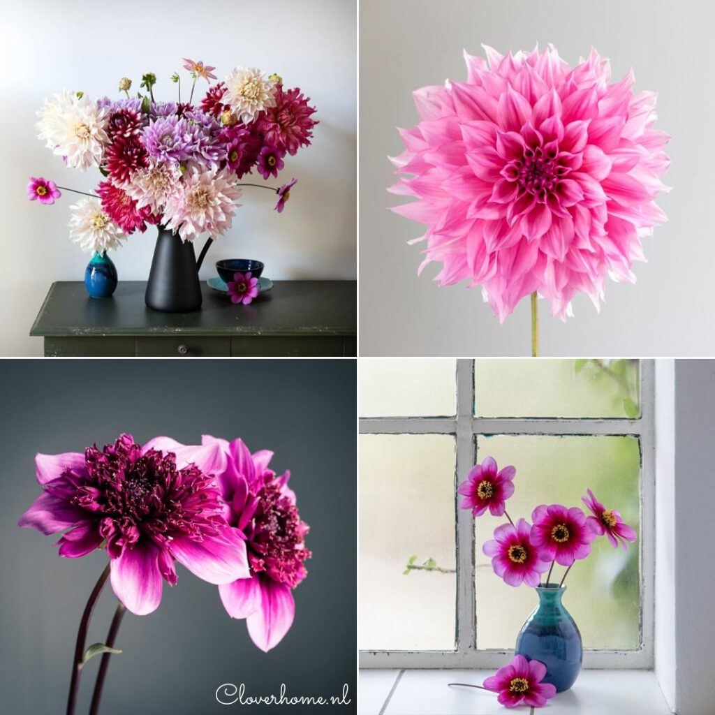 Growing great dahlias without pesticides - Cloverhome.nl
