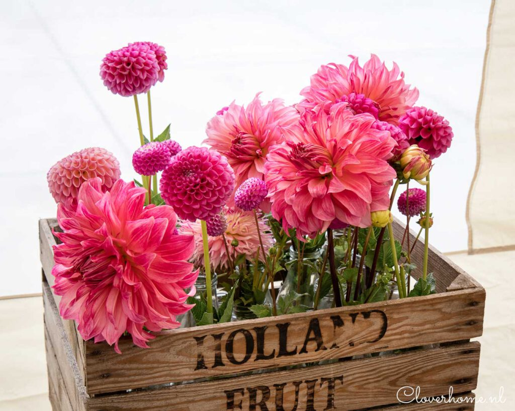 Dahlias are one of the most versatile flowers and are still growing in popularity. Now there is a new book: The Joy of Dahlias.