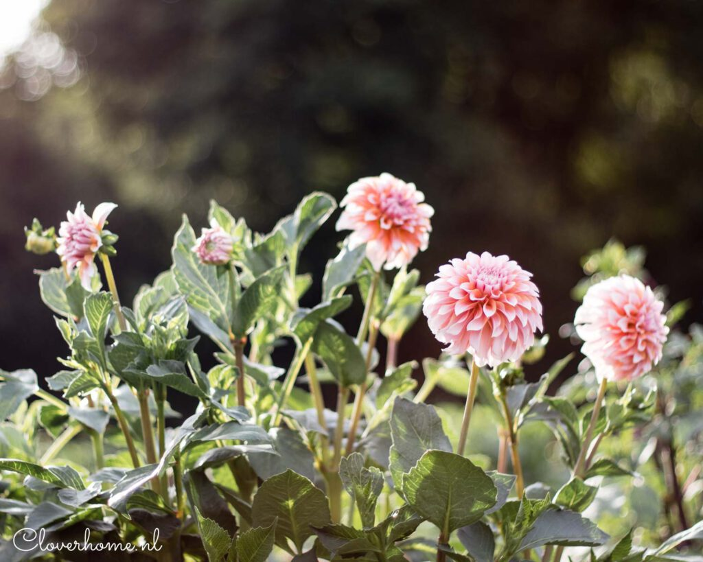 Favourite dahlia varieties that look good in both your garden as well as the vase: Peaches n' Cream - Cloverhome.nl