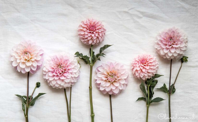 Favourite dahlias: growing Sweet Nathalie