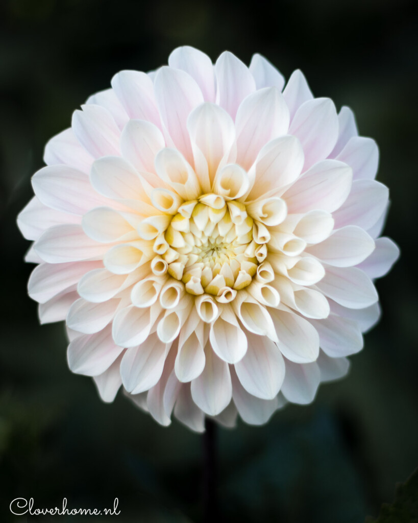 Dahlia Sweet Nathalie is one of the most beautiful varieties I have ever grown. The pale blush blooms on long, strong stems make this a great cut flower - Cloverhome.nl