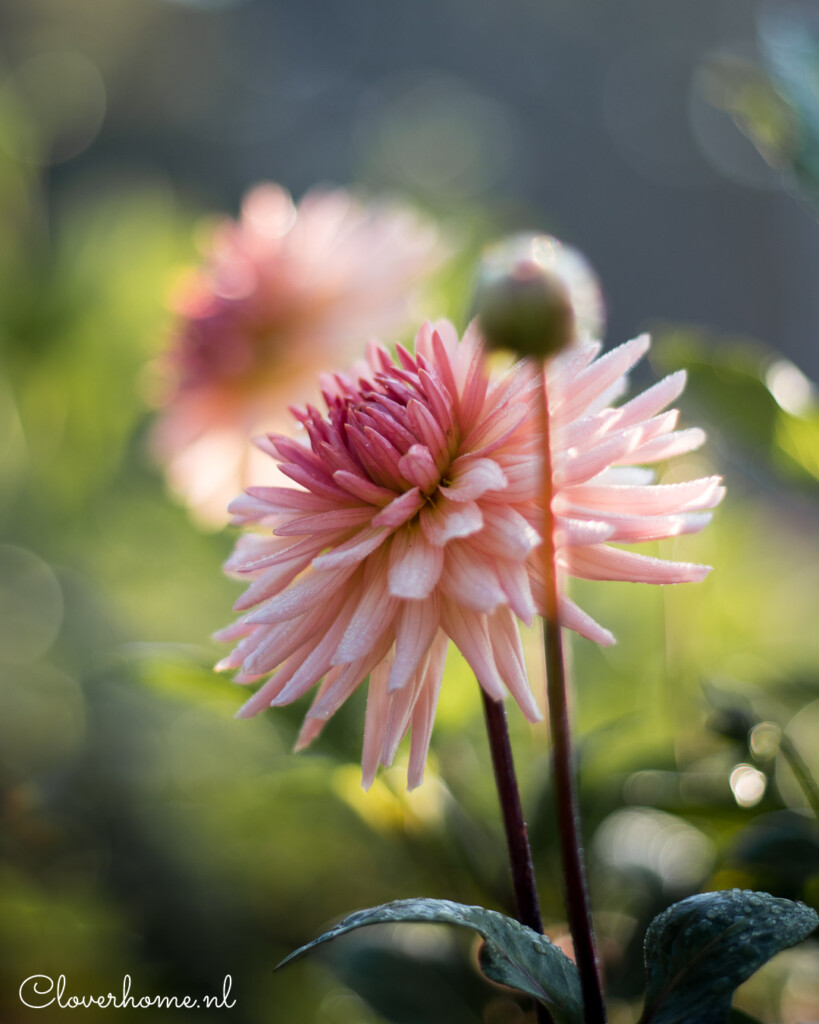 Favourite dahlia varieties that look good in both your garden as well as the vase: Preference - Cloverhome.nl