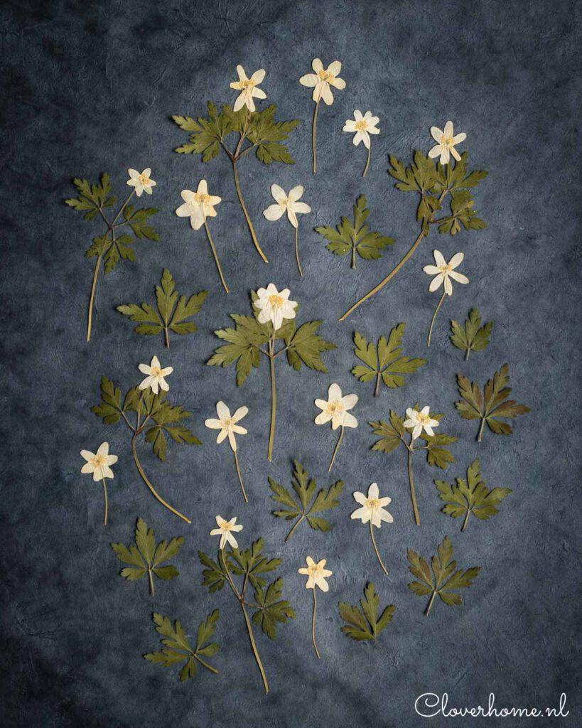 Pressed wood anemones - Cloverhome.nl