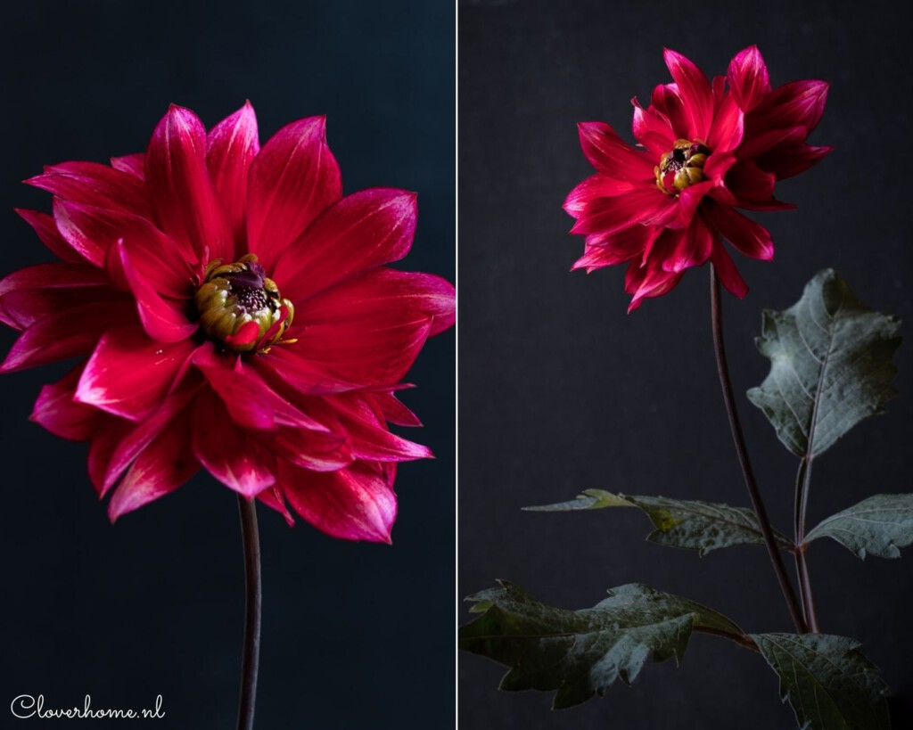Favourite dahlia varieties that look good in both your garden as well as the vase: Darkarin - Cloverhome.nl