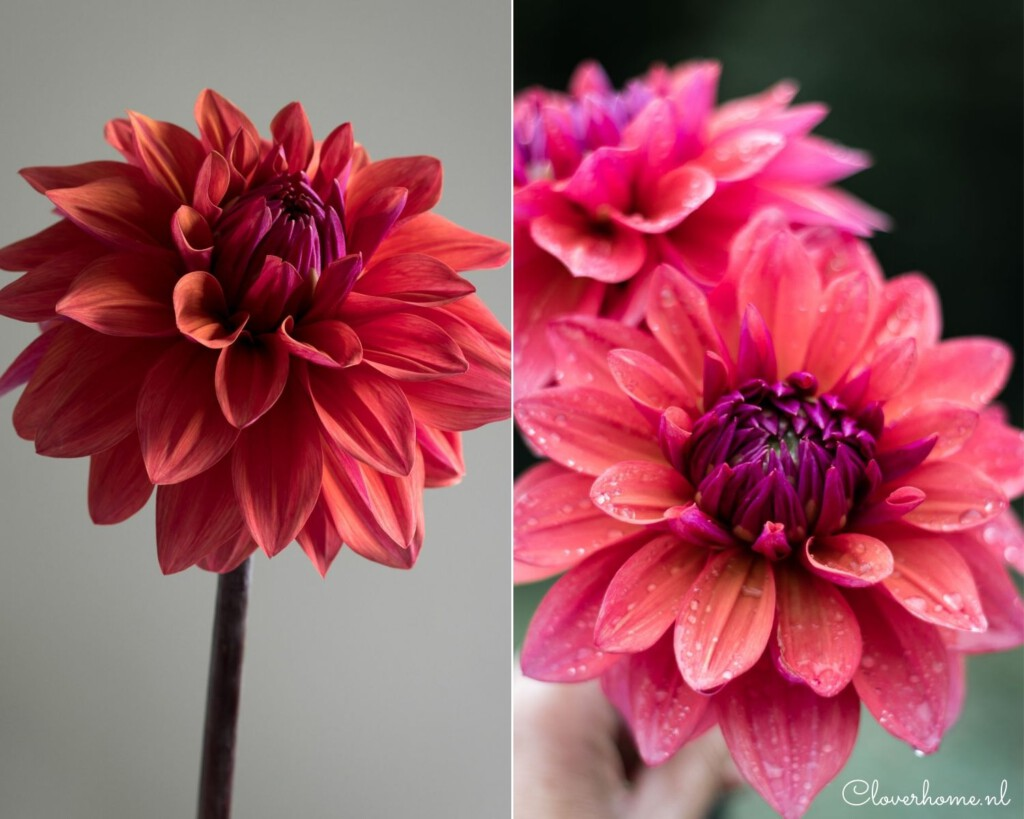 Favourite dahlia varieties that look good in both your garden as well as the vase: American Dawn - Cloverhome.nl