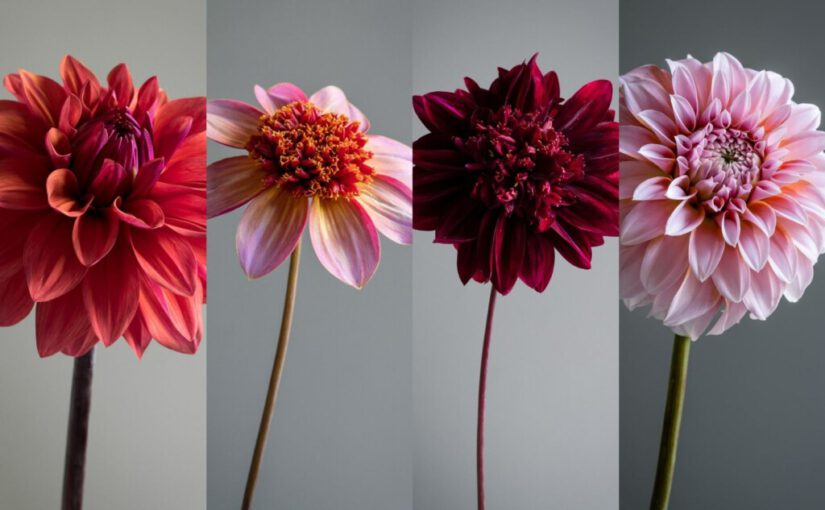 Favourite dahlia varieties from my cutting garden